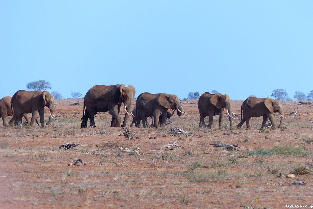 Elefant, Riesen- (Kori)trappe