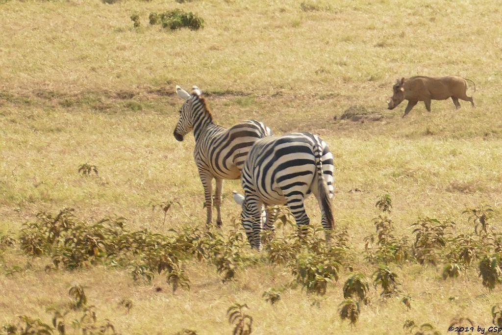 Böhm-Steppenzebra (Grant-Zebra), Gewöhnliches Warzenschwein