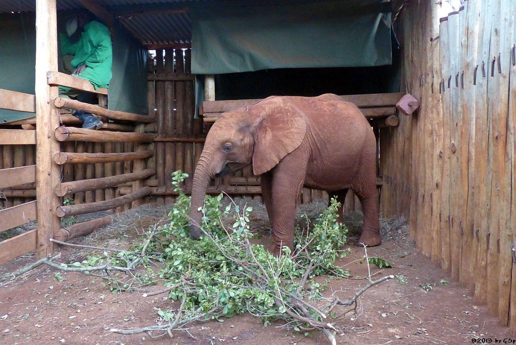 QUANZA, geb. im Okt. 2011, gefunden im Amboseli NP