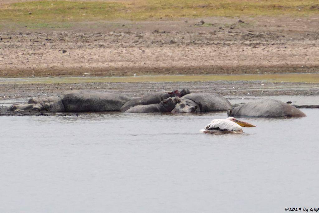 Flusspferd (Nilpferd), Rosapelikan, Nilgans