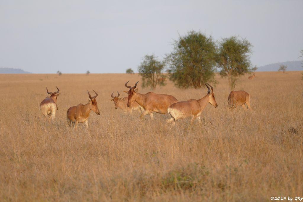 Lelwel-Kuhantilope (Lelwel-Hartebeest, Jacksons Kuhantilope)