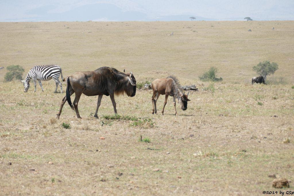 Böhm-Steppenzebra (Granz-Zebra, Weißbartgnu