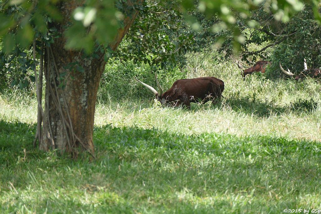 Ankole Langhorn-Rind (Ankole Cow)