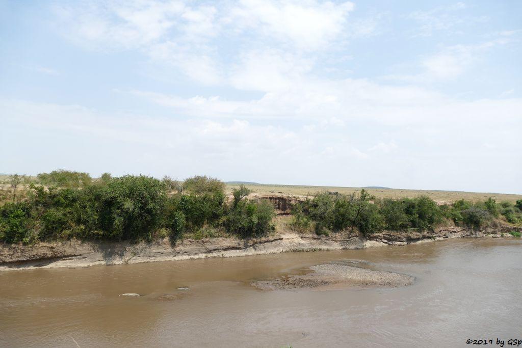 Östliches Nilkrokodil (Kenia-Nilkrokodil) im Mara-River