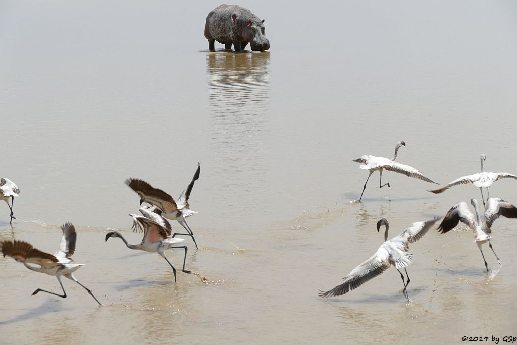 Zwergflamingo, Flusspferd (Nilpferd)