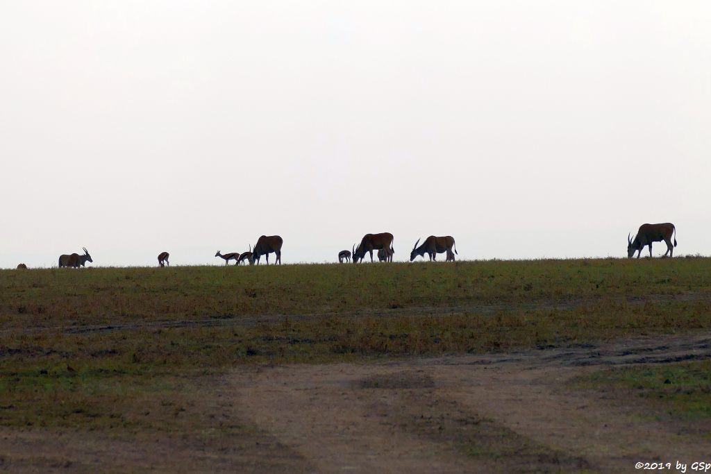 Thomsongazelle, Elenantilope