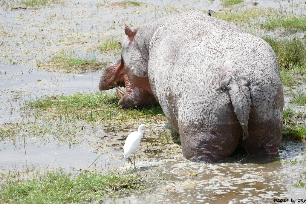 Kuhreiher, Flusspferd (Nilpferd), Langzehenkiebitz