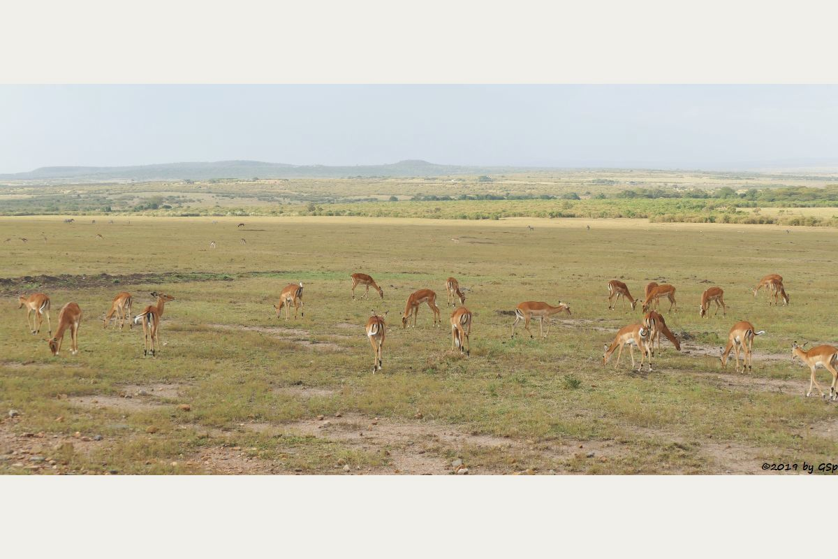 Impala, Thomsongazelle, Böhm-Steppenzebra, Leierantilope