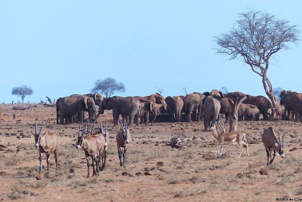 Eritrea-Spießbock (-Oryx), Elefant, Grantgazelle