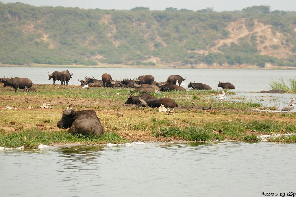 Kaffernbüffel, Rötelpelikan. Nimmersatt (Buffalo, Pink-backed Pelican, Yellow-billed Stork)