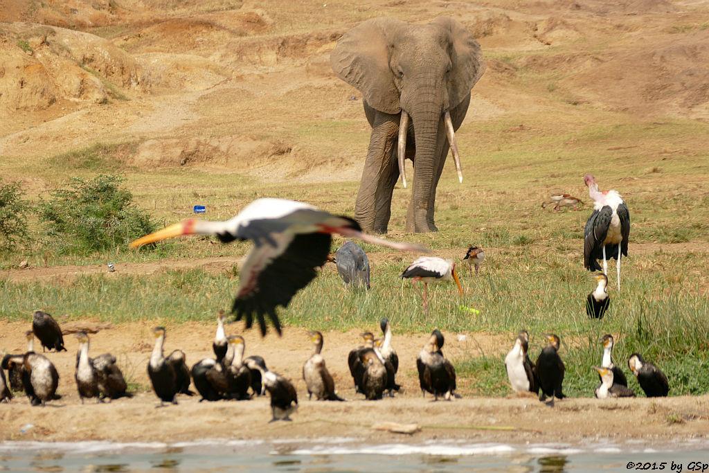 Weißbauchkormoran, Nimmersatt, Afrikanischer Elefant, Marabu (Greater (white -breasted) Cormorant, Yellow-billed Stork, African Elephant, Marabou Stork)