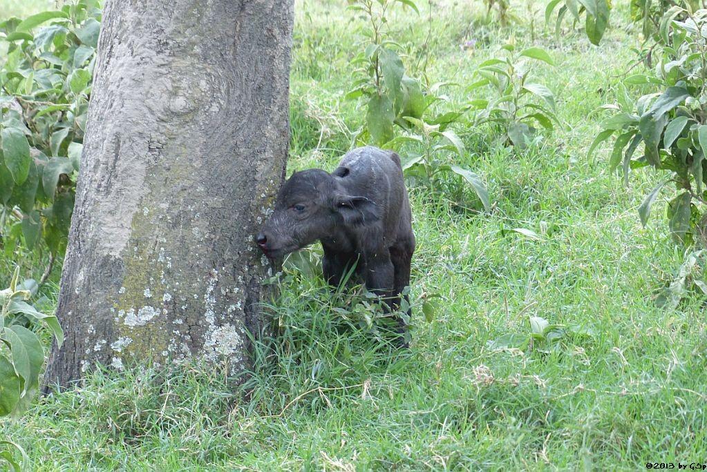 Neugeborener Kaffernbüffel - von der Mutter verlassen
