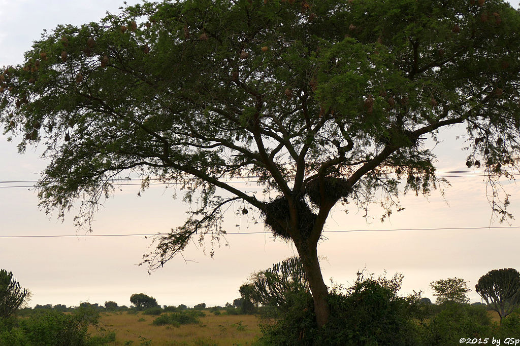 Hammerkopf-Nester (Hamerkop's nests)