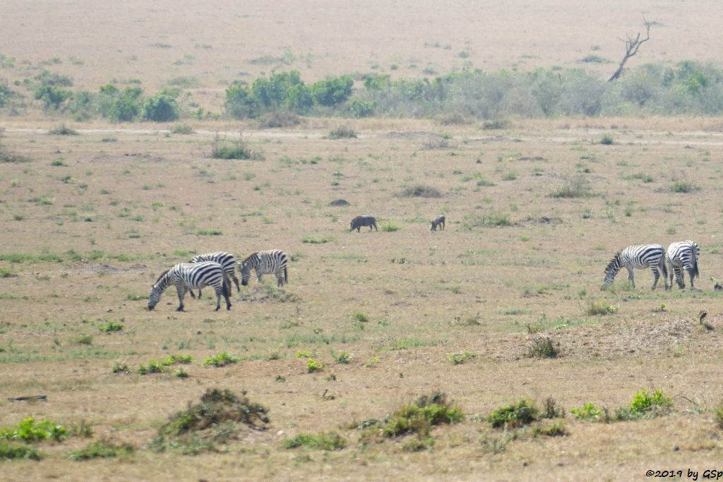 Böhm-Steppenzebra (Grant-Zebra), Warzenschwein