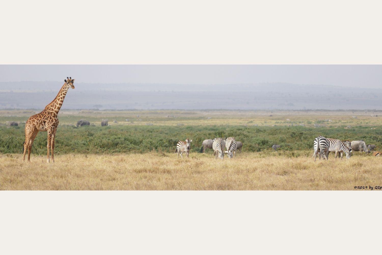 Massai-Giraffe, Elefant, Böhm-Steppenzebra (Grant-Zebra), Östliches Weißbartgnu