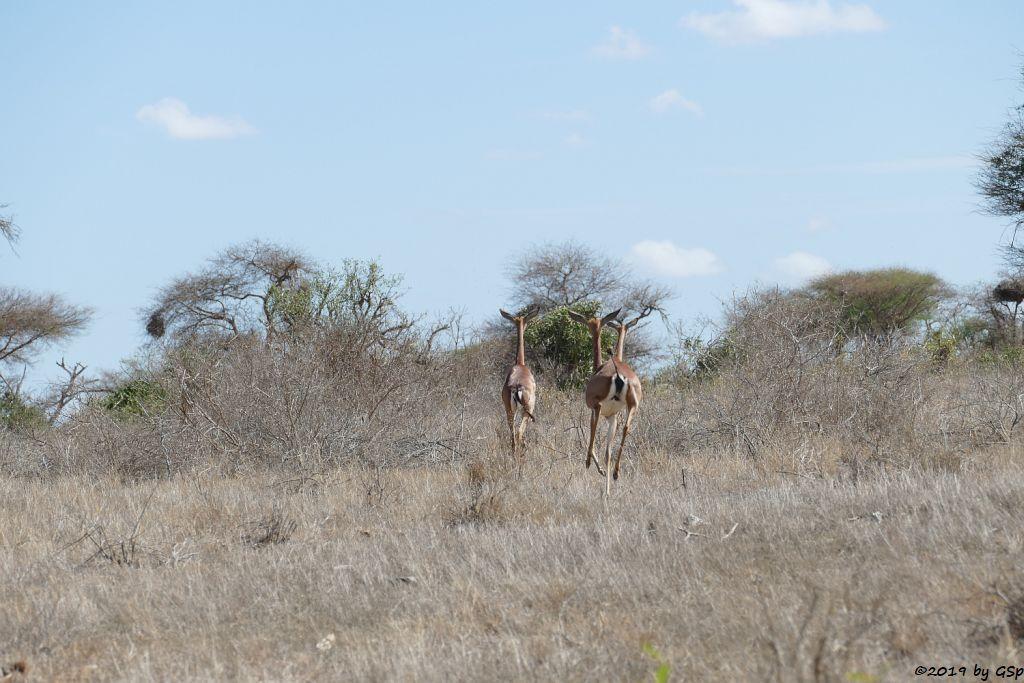 Südliche Giraffengazelle (Südliche Generuk)
