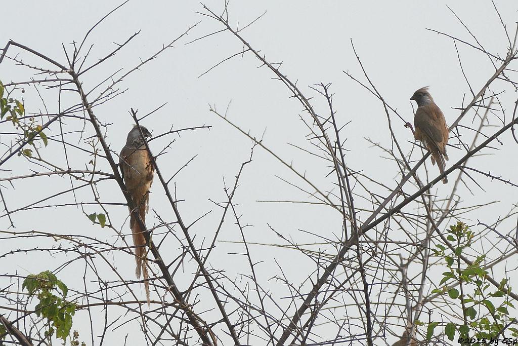 Layardbülbül, Ostafrik.Graubülbül (Common Bulbul)