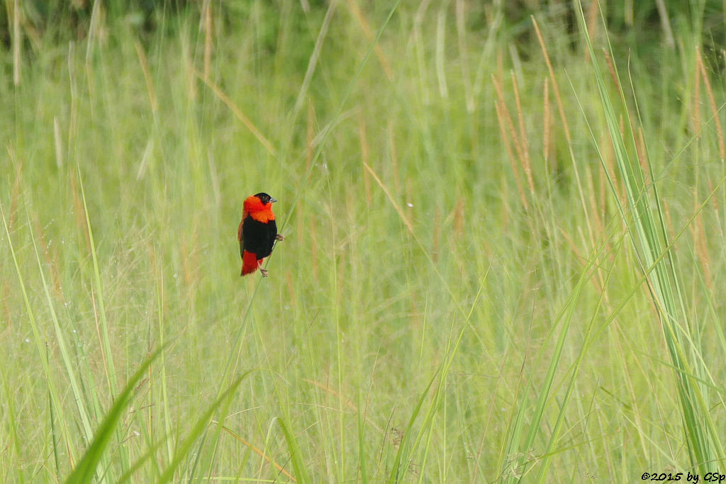 Feuerweber (Black-winged Red Bishop)