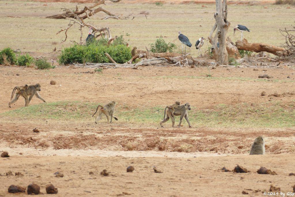 Gelber Pavian (Steppenpavian, Langarm-Pavian), Marabu (Afrikanischer Marabu)