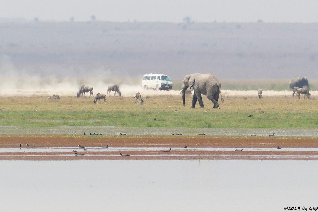Östliches Weißbartgnu, Elefant