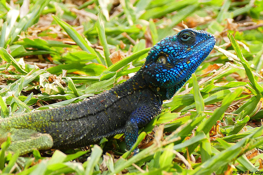 Blaukehlagame(black-necked Agama, Blue-headed Tree-Agama)