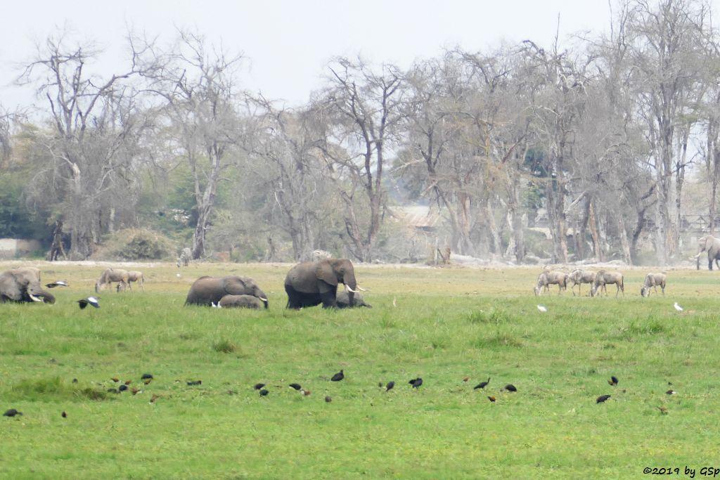 Brauner Sichler, Rotschnabelente, Elefant, Östliches Weißbartgnu