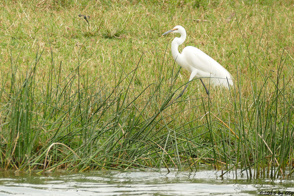 Silberreiher (Great Egret)