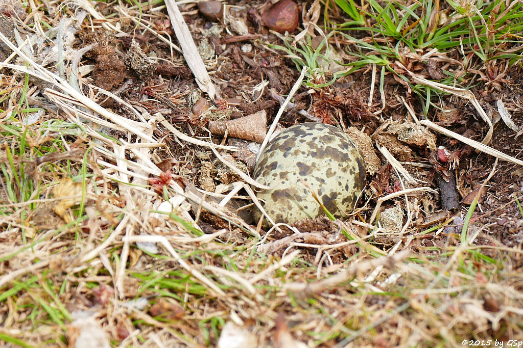 Spornkiebitz-Ei(Spore-winged Lapwing-egg, Spore-winged Plover-egg)