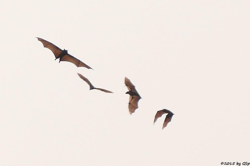 Flughund (Fruit Bat)