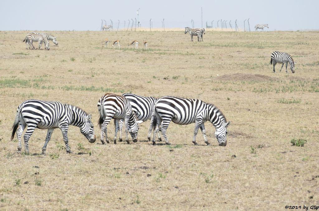 Böhm-Steppenzebra (Grant-Zebra), Thomsongazelle
