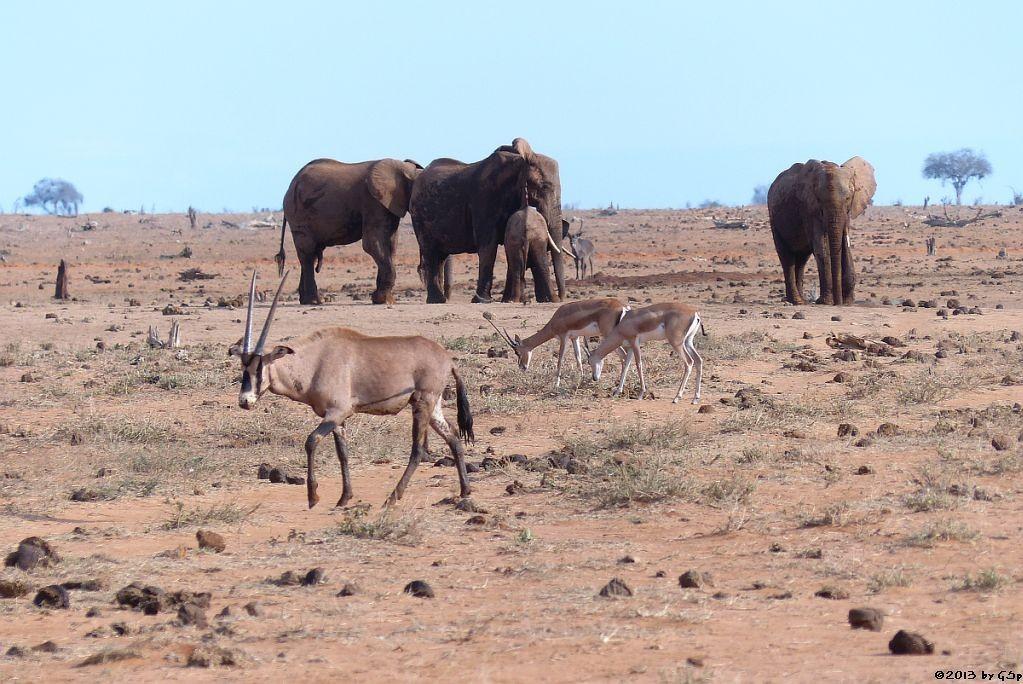 Grantgazelle, Eritrea-Spießbock (-Oryx), Elefant, Wasserbock