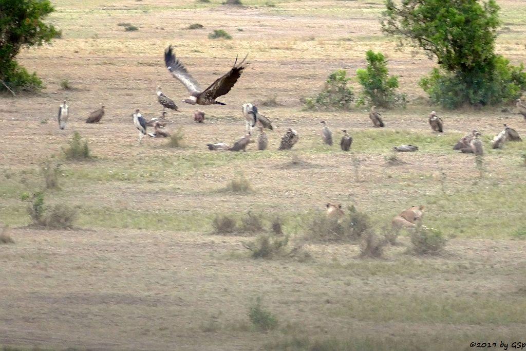 Massai-Löwe, Weißrückengeier, Marabu