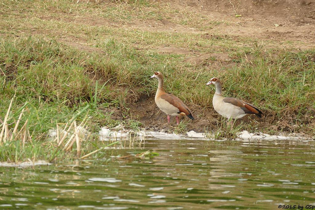 Nilgans (Egyptian Goose)