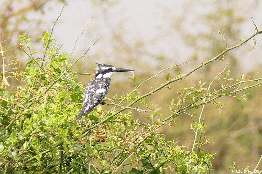 Graufischer (Pied Kingfisher)