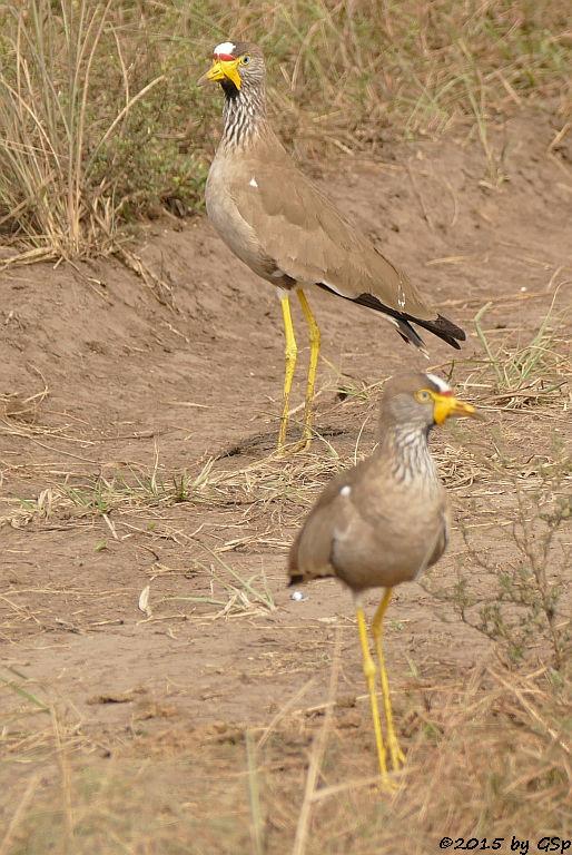 Senegal-Kiebitz (African Wattled Lapwing)