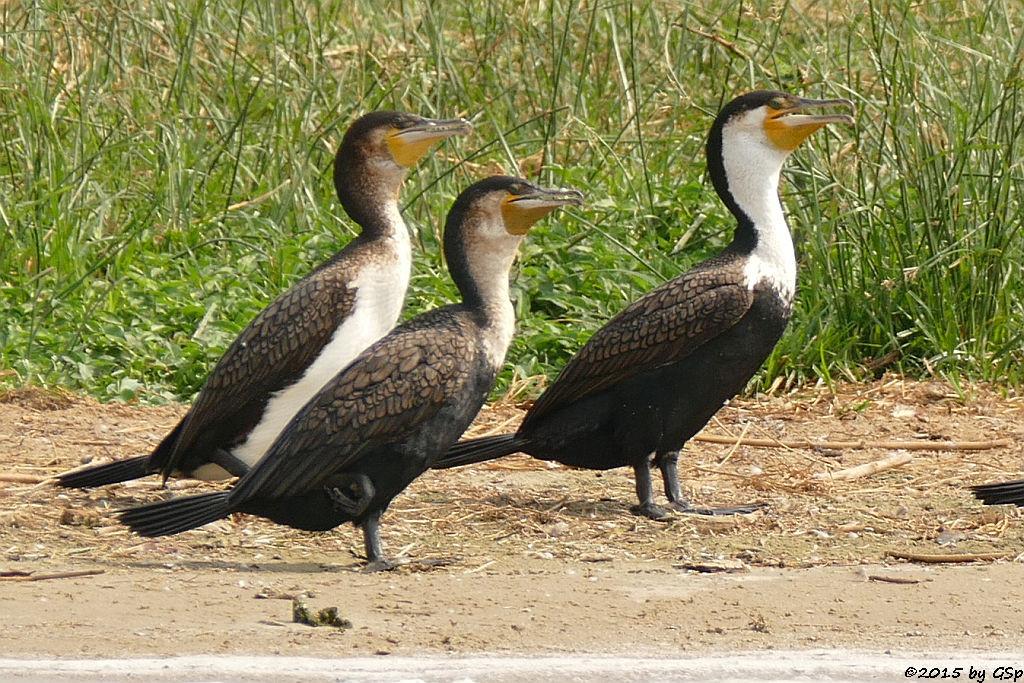 Weißbauchkormoran (Greater (white-breasted) Cormorant)