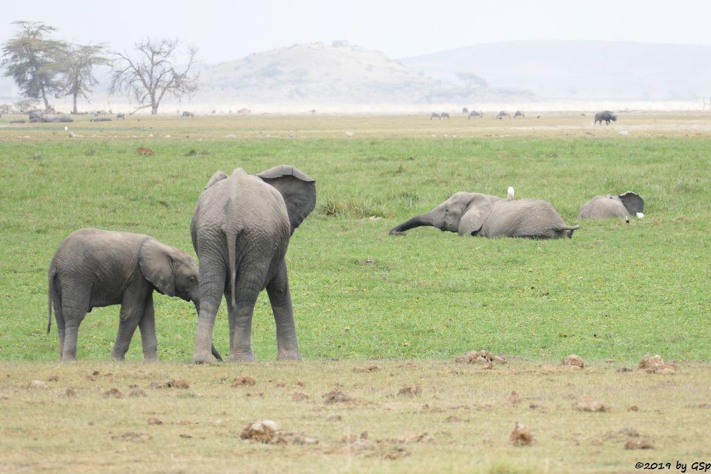 Elefant, Kaffernbüffel (Schwarzbüffel)