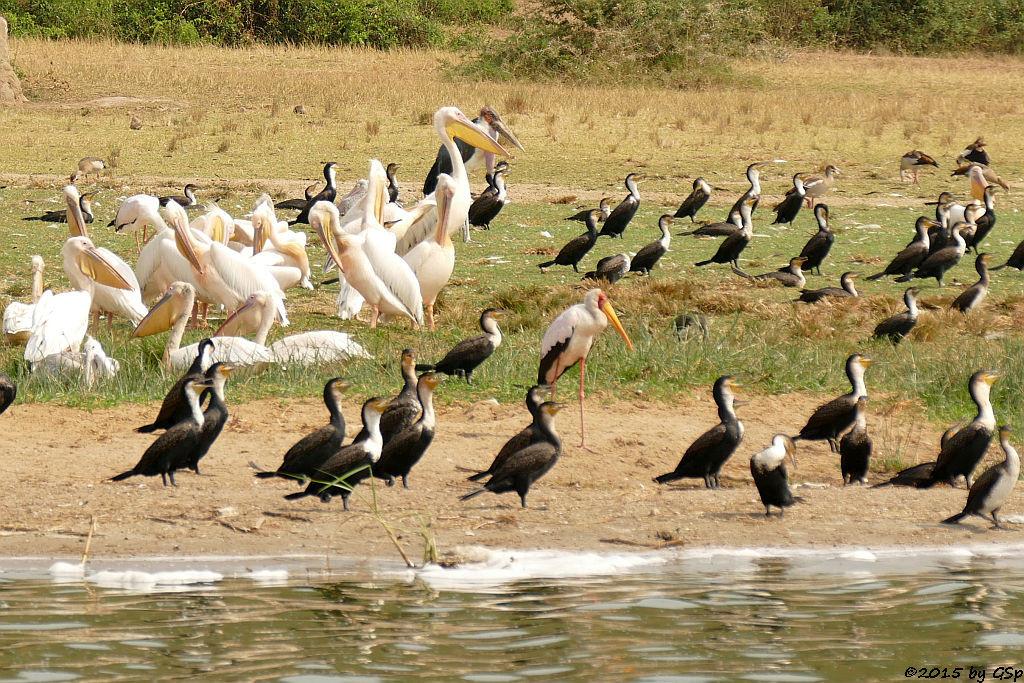 P1370767 Weißbauchkormoran, Nimmersatt, Rosapelikan, Marabu (Greater (wihite-breasted) Cormorant, Yellow-billes Stork, Greate whihe Pelican, Marabou Stork) Yellow-billed St