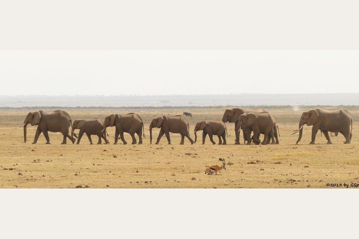 Thomsongazelle, Elefant, Östliches Weißbartgnu