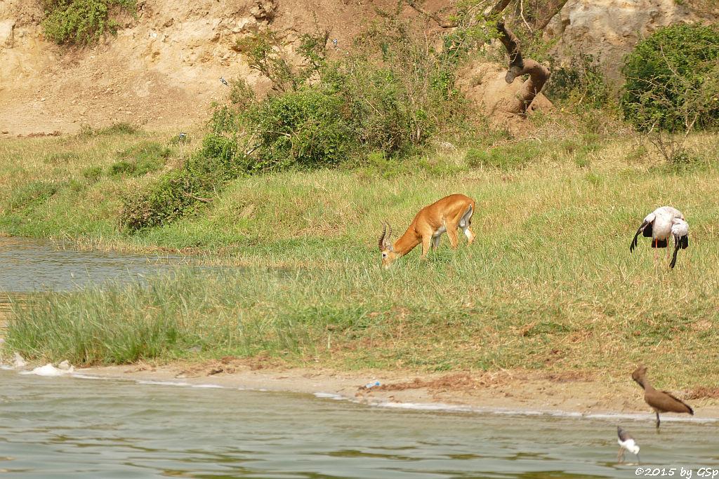 Uganda-Grasantilope/Thomas-Wasserbock, Nimmersatt, Stelzenläufer, Hammerkopf (Ungandan Kob, Yellow-billed Stork, Back-winged Stilt)
