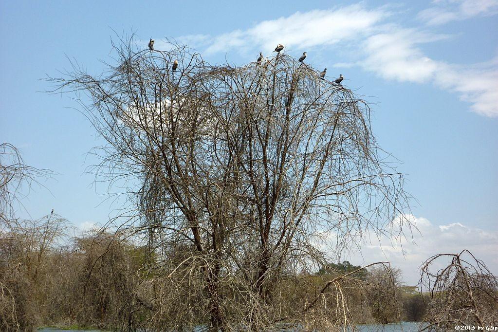 Weißbrustkormoran