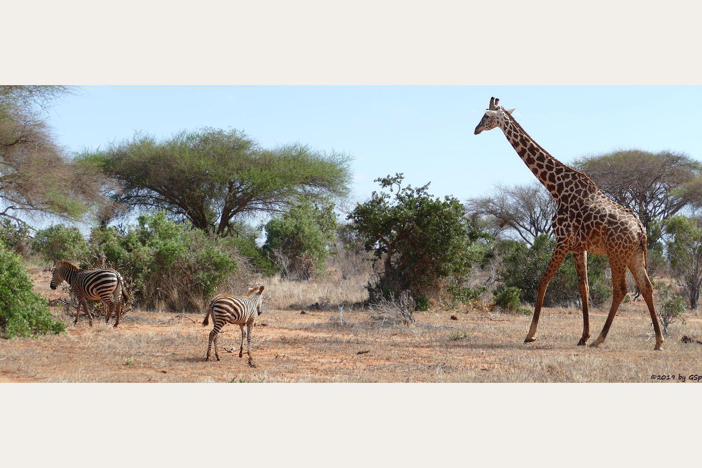 Böhm-Steppenzebra (Grant-Zebra), Massai-Giraffe