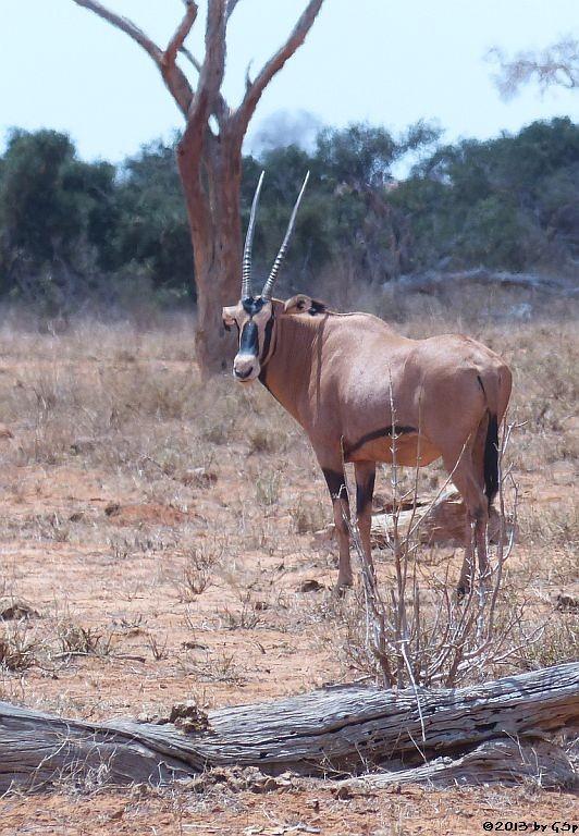Eritrea-Spießbock (-Oryx)