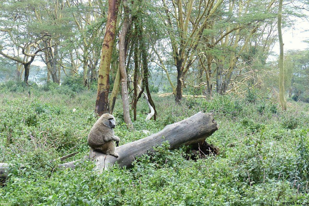 Grüner (Anusbis-) Pavian