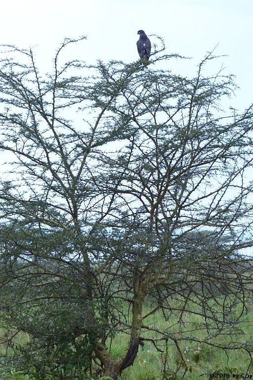 Schwarzbrust-Schlangenadler