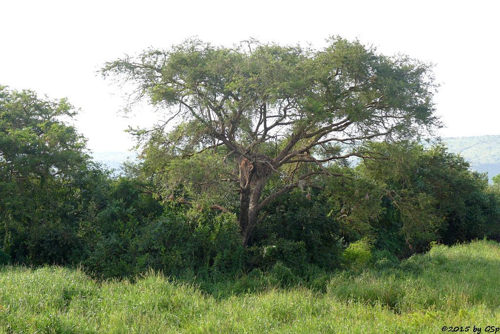 Hammerkopf-Nest (Hamerkop's nest)