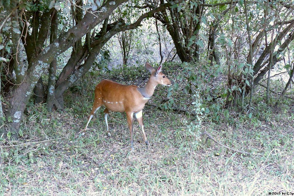 Buschbock (Schirrantilope)