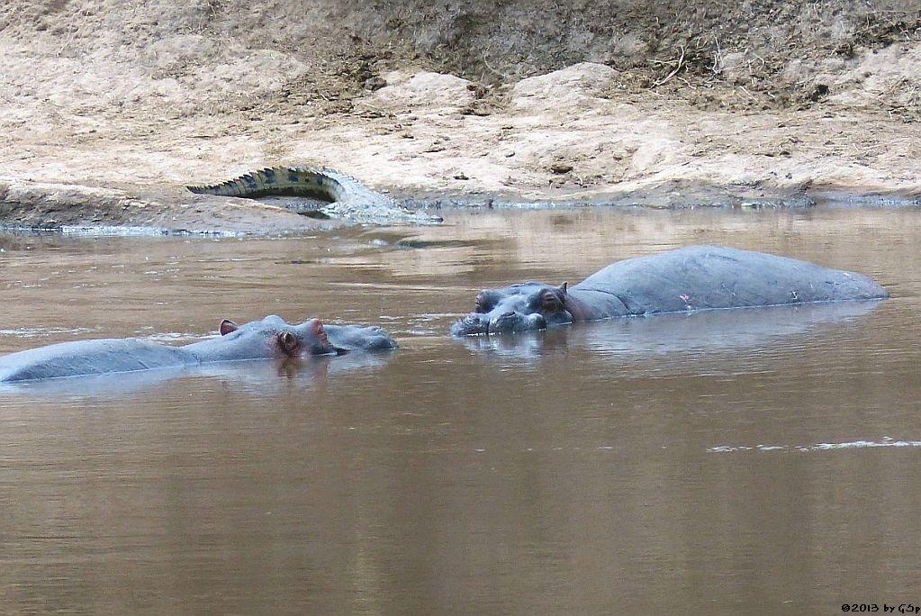 Flusspferd, Nilkrokodil