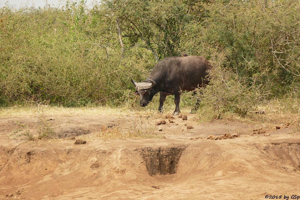 Kaffernbüffel (Buffalo)