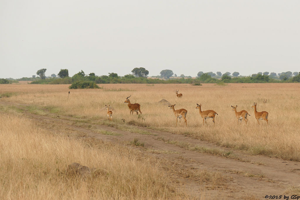 Uganda-Grasantilope/Thomas-Wasserbock (Ugandan Kob)